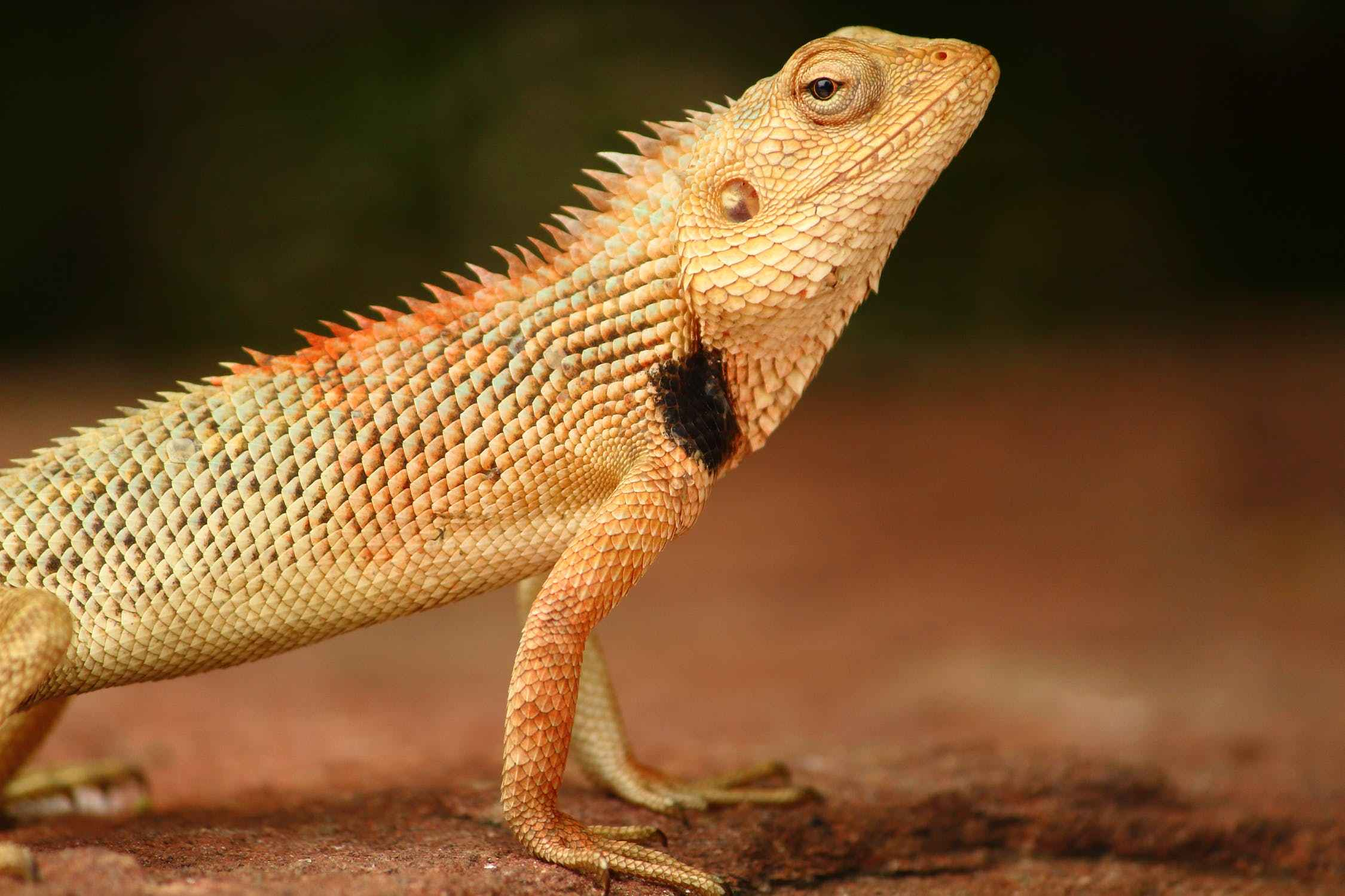 can bearded dragons eat chicken