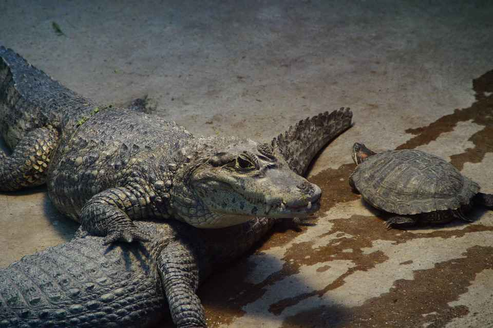 Can Alligators Eat Turtles?