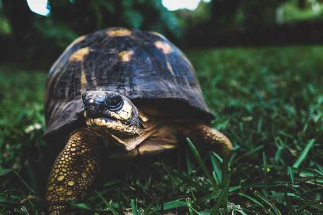 Turtles also Can Carry E coli