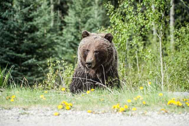 Grizzly bears are generally stronger than black bears