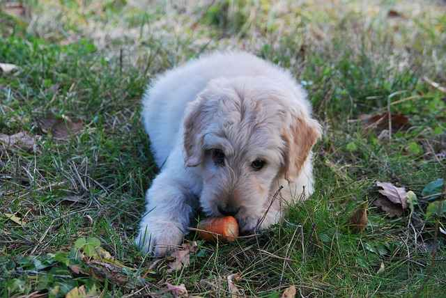 Let's see How You can Introduce Food to Puppies