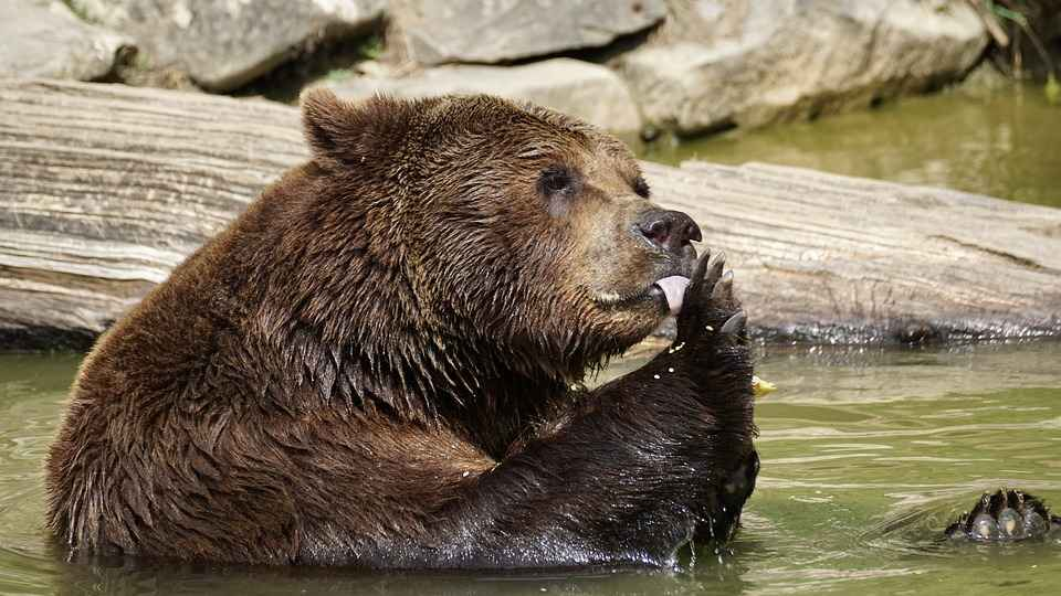 Male bears are stronger and bigger than Female bears