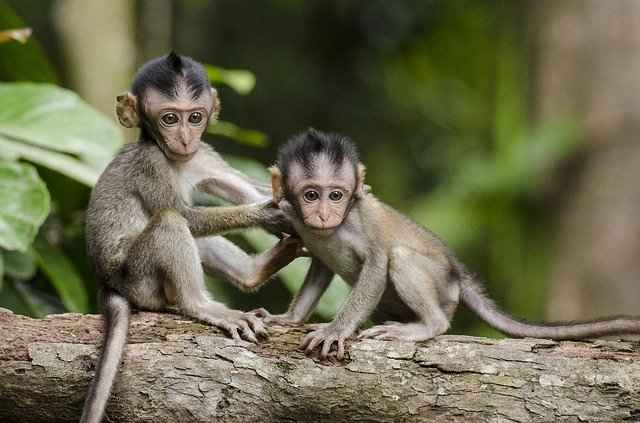Monkies are known to kidnap other baby monkeys