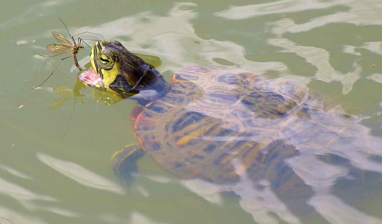 Wild Water Turtles Loves to eat Worms & Bugs