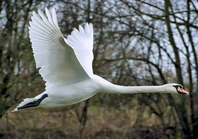 Where do swans fly in winter?