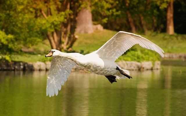 Do Swans Fly?