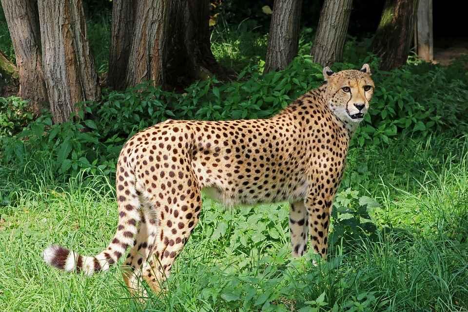 cheetah vs leopard print