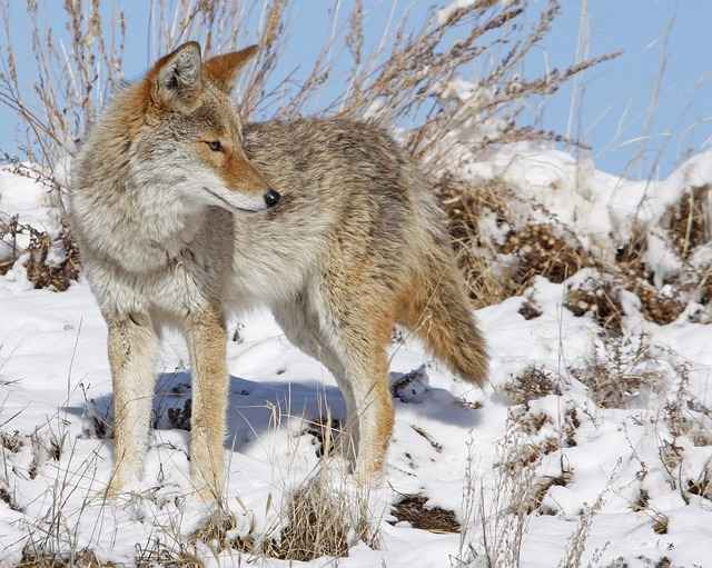 Do Coyotes Eat Dogs?