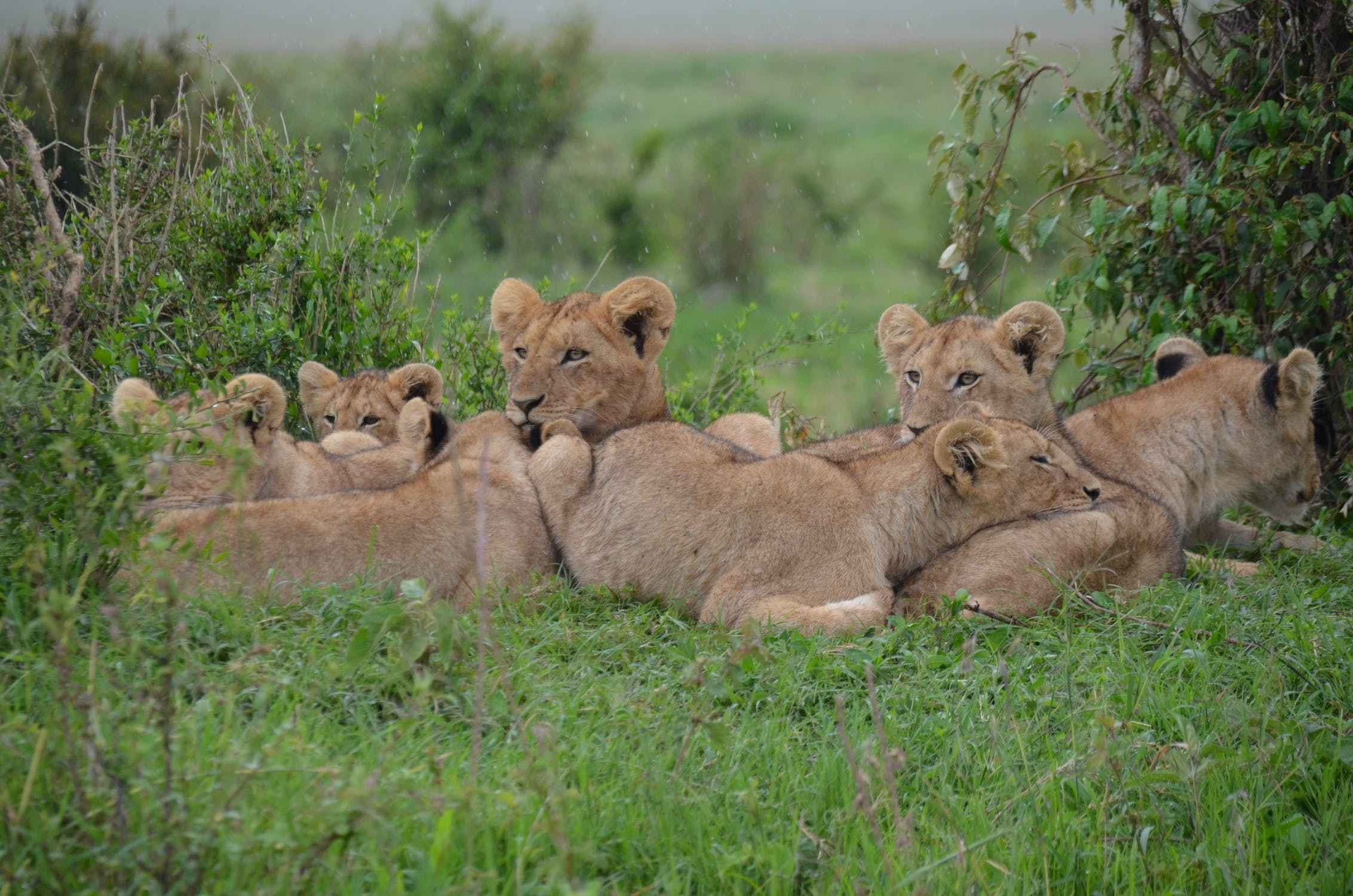 do lions eat their young cubs
