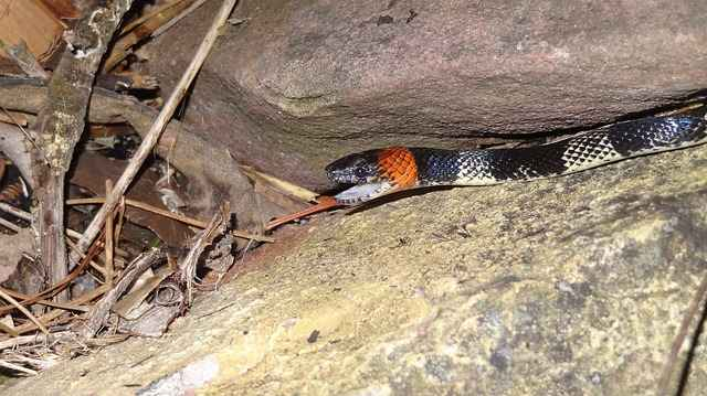 does a coral snake have a backbone