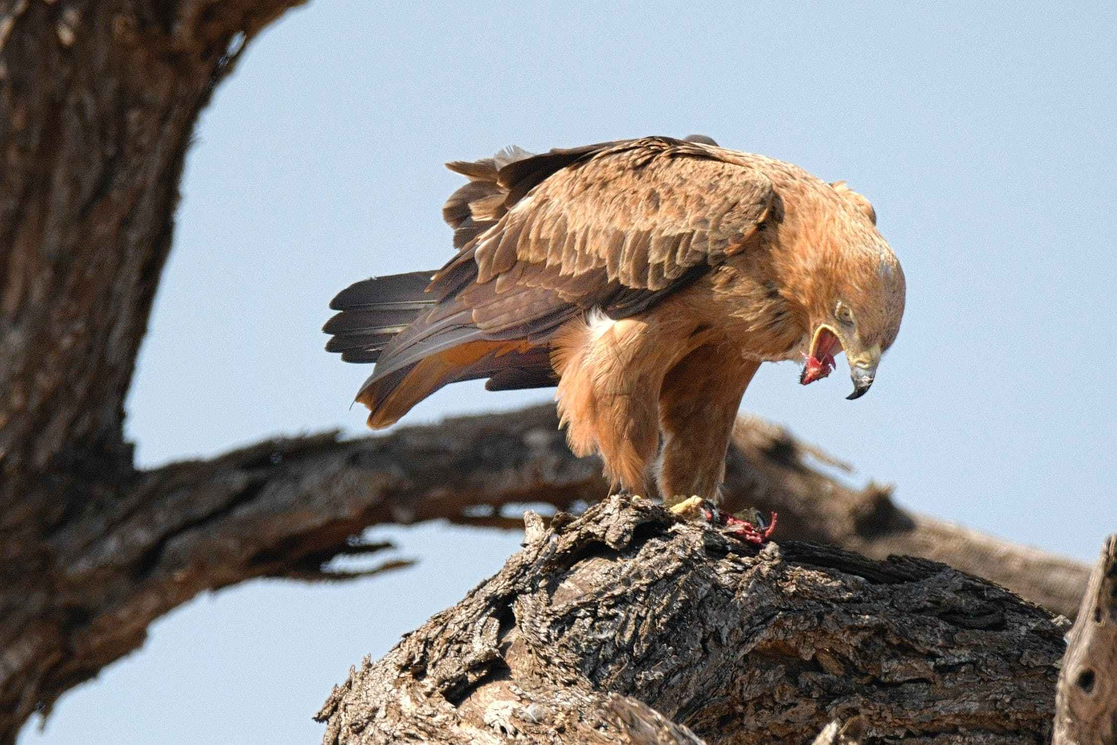eagles are known to eat hawks