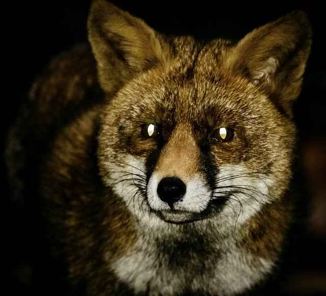 Neither Red or Grey Fox is likely to attack a Human at night