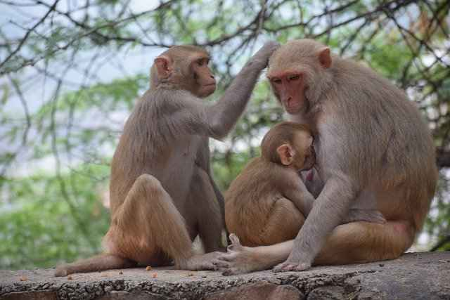 It's almost unheard that a Male monkey would steal a baby monkey