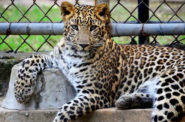 a young Leopard showcasing his beautiful Prints