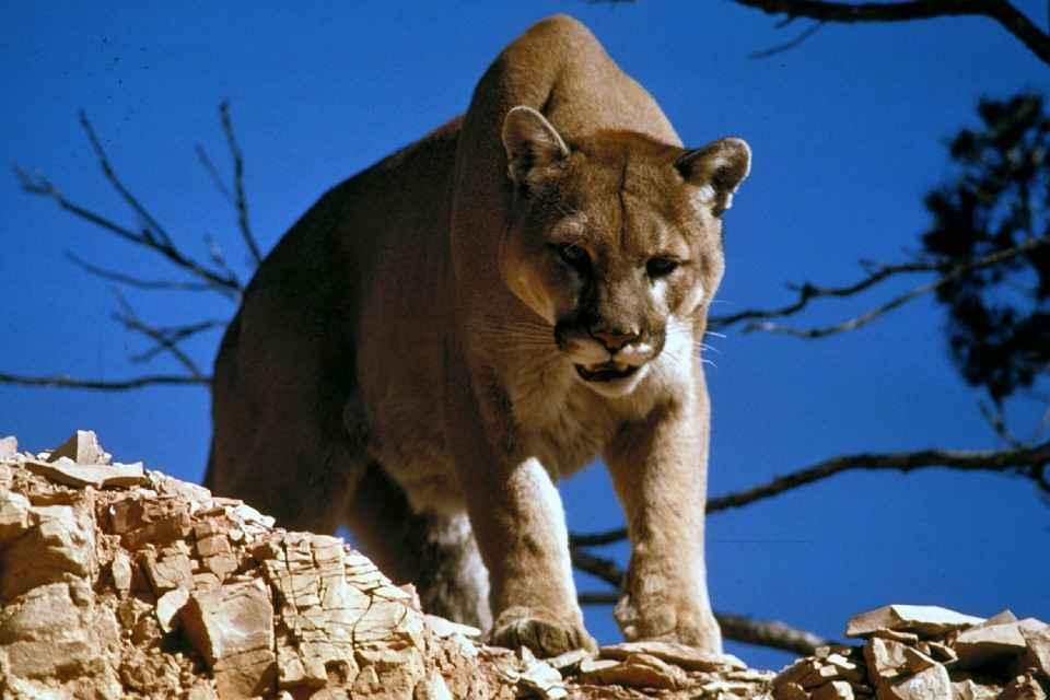 mountain lion predators