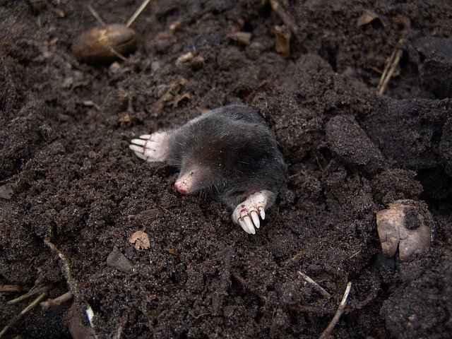 How to Keep Pet Mole