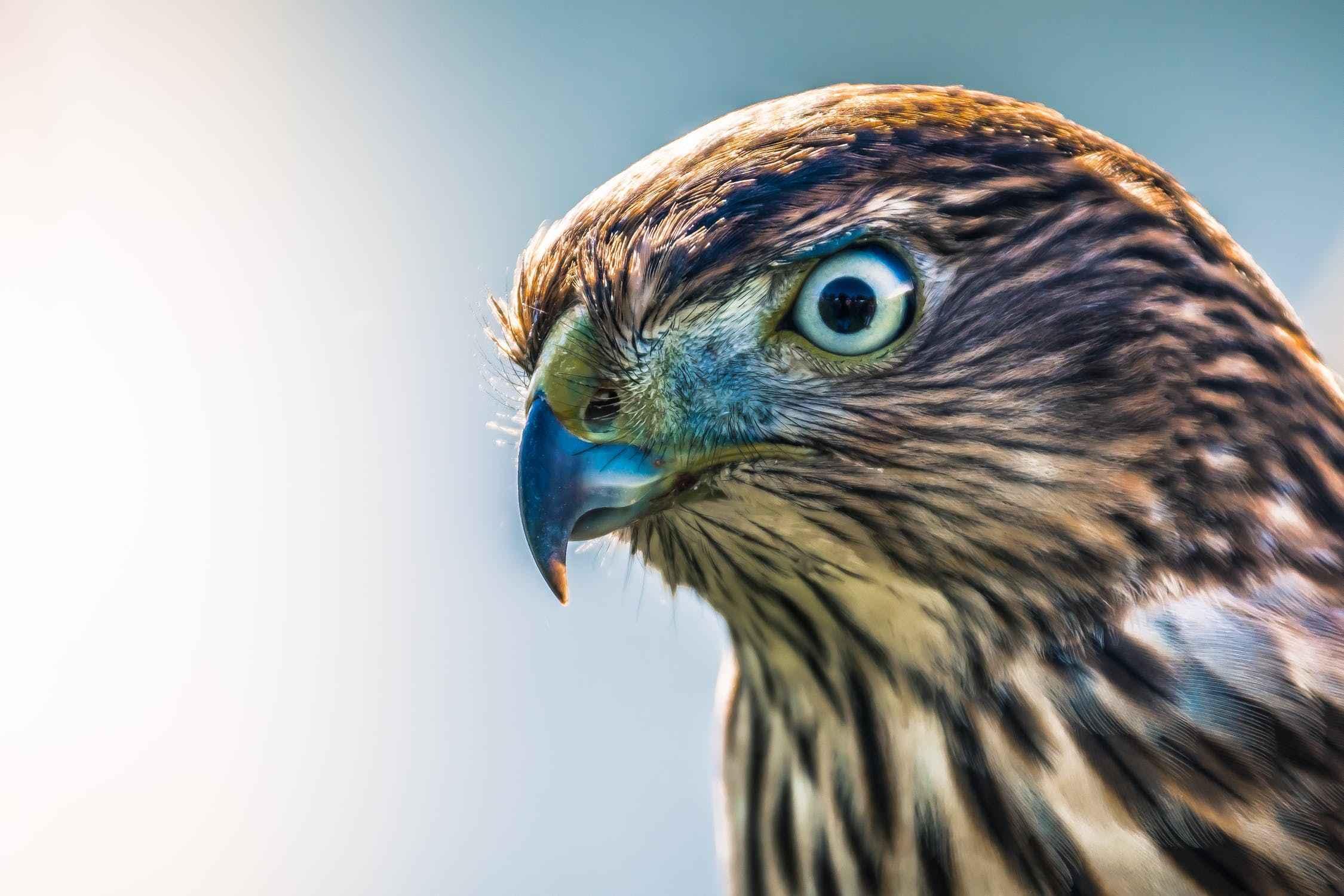 what animals eats hawks