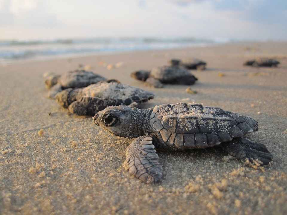 sea turtles can have A LOT of babies