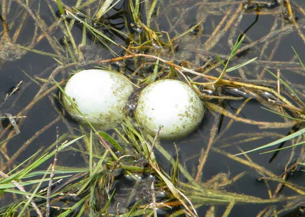 Snakes can easily Find and Eat Turtle eggs