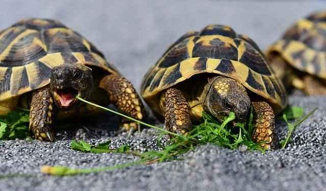 What do Wild turtles eat?