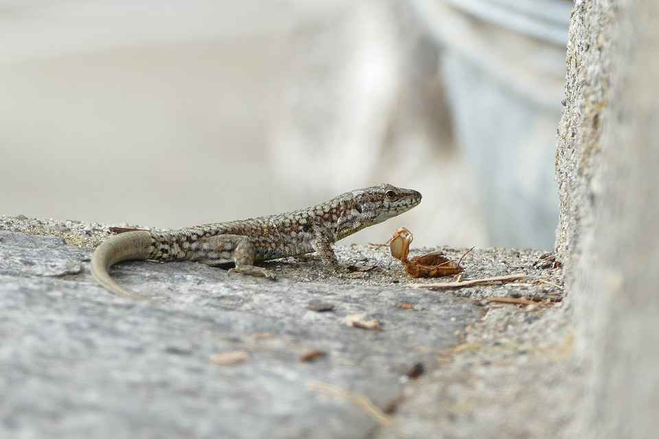 what animals eat smaller lizards