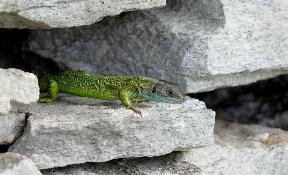 what eats rock dwelling lizards?