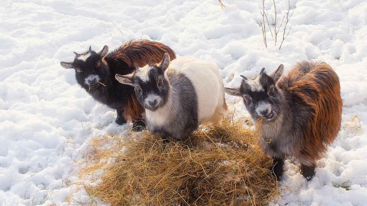 Sheep And Goats can earn Corn , however barley, rye, wheat, sorghum ,oats are better options.