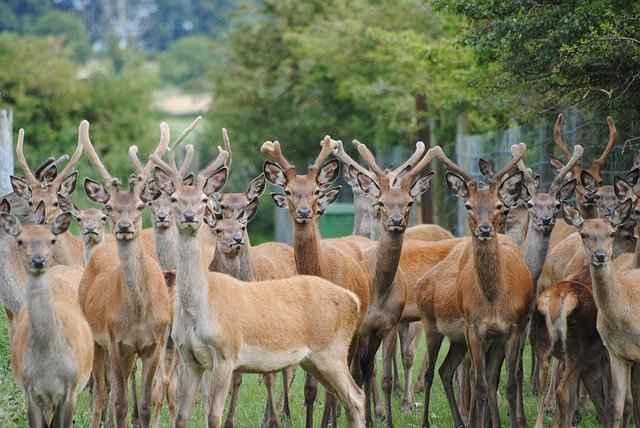 Dogs Can Safely Enjoy Deer Liver,heart & Antlers