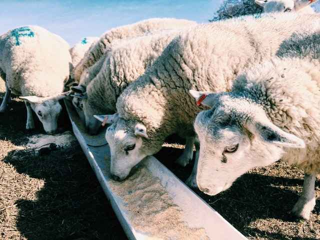 Sheep can safely eat Corn