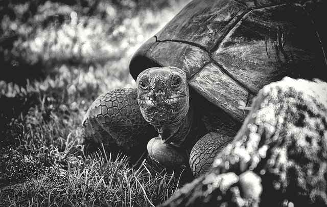 Giant Tortoise Relaxing after a good meal
