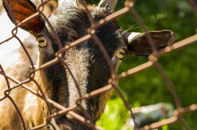 Goat Fence Ideas