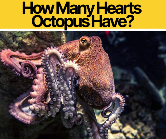 How Many Hearts Octopus Have_
