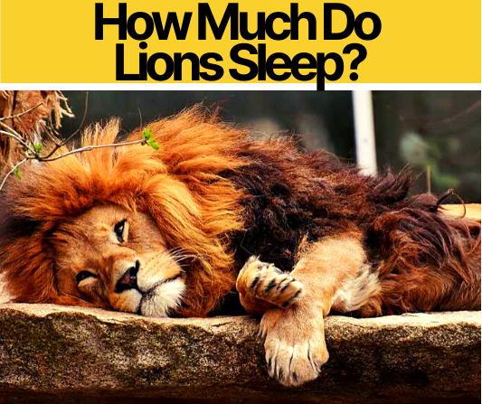 How Much Do Lions Sleep_