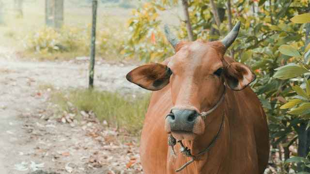 Mostly All Breed Cows Can have Horns