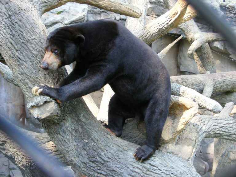 Sun Bears eat Insects,Plants,Fruit and Vegetables