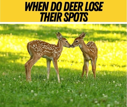 When-Do-Deer-Lose-Their-Spots