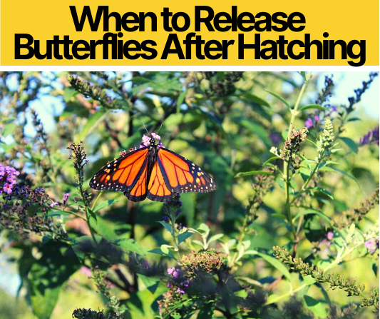 When to Release Butterflies After Hatching