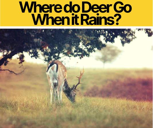 Where do Deer Go When it Rains