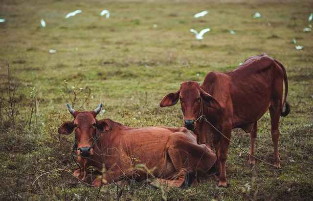 Why Some Cows Don't have horns - Down to The Genetics.