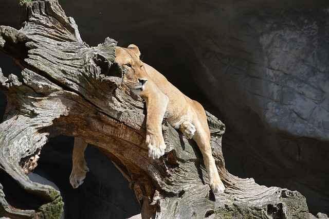 A Female lion sleeping on a tree