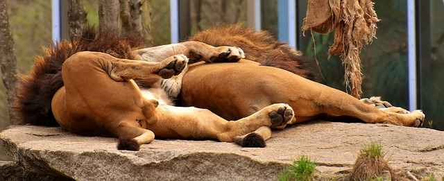 Lions usually don't sleep and cuddle up together.