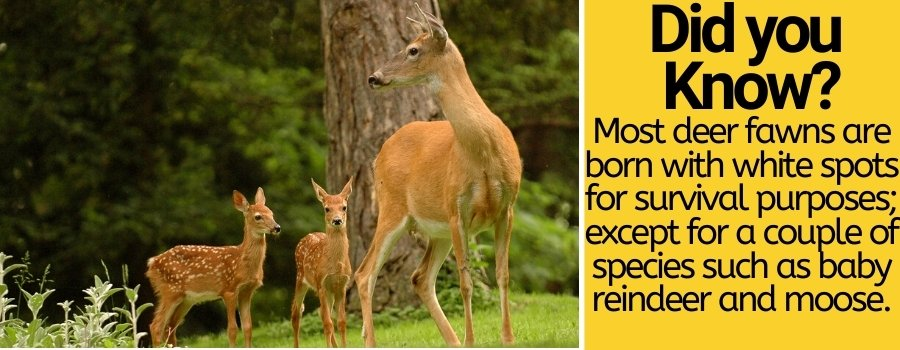 why-do-deer-have-white-spots-and-when-they-loose-them