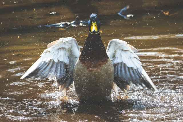 Ducks can't breathe underwater,however they are excellent divers