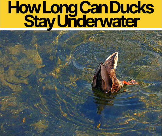 How Long Can Ducks Stay Underwater