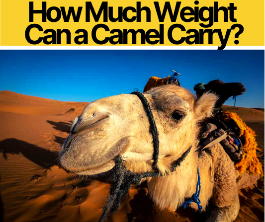 How much weight can a camel carry