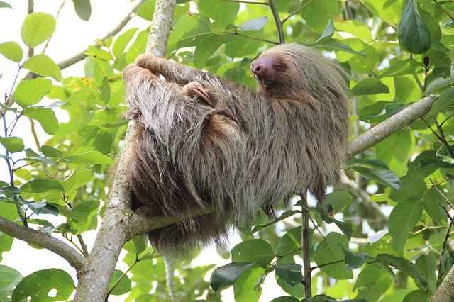Sloths are Closely Related to Ant Eaters
