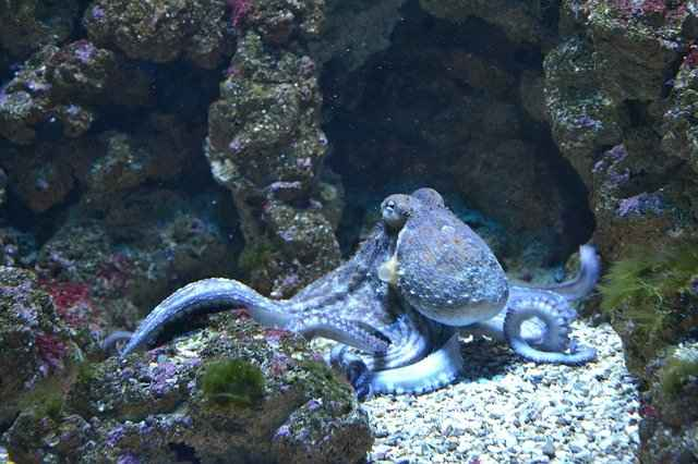 Octopus Mating Habits, How many babies do Octopus Have?
