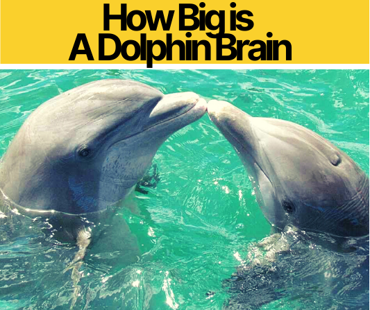 How Big is A Dolphin Brain