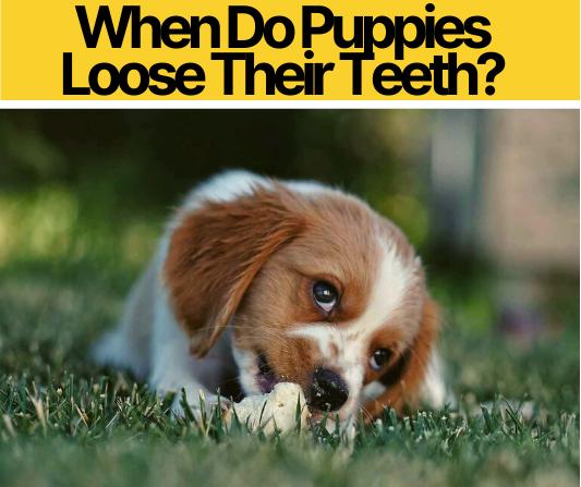 When Do Puppies Loose Their Teeth_