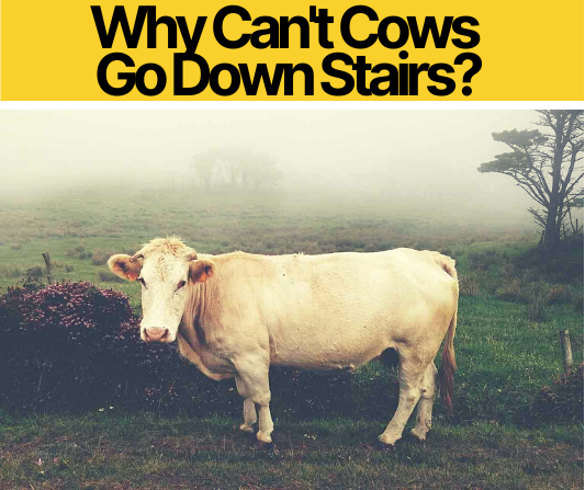 Why Can't Cows Go Down Stairs_